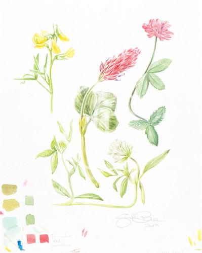 Fabaceae study N.6