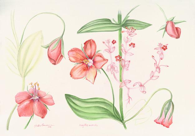 Anagallis-arvensis (Scarlet pimpernell)