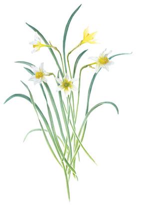 Memorina Group - daffodil