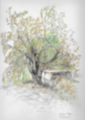Coloured pencil drawing of an Olive tree beside an old stone wall