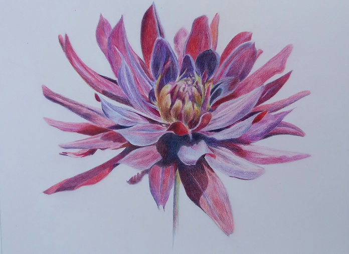 Coloured pencil drawing of Lilies