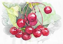 Cherries watercolour