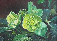 Painting of Helleborus Argutifolias