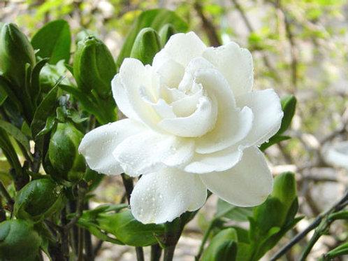Jasmine, sweet