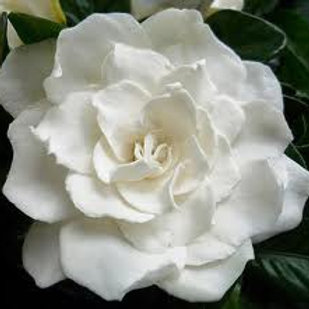 Gardenia, Sweet