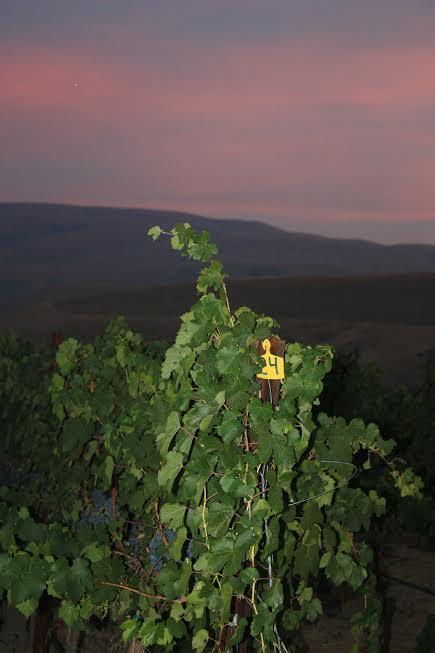 Kolibri Vineyard Sunnyside iSunset