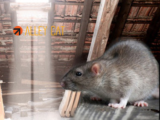 Rat control, prevention, removal, and proofing services in Oakland.