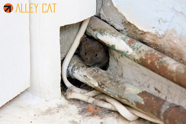 Mice control in Oakland.