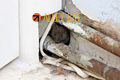 We vow to go through your entire home to find every possible area rodent can get in from and use multiple materials to ensure they can't get in ever again.