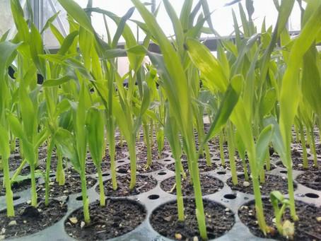 Champ de maïs non OGM à la ferme ce matin