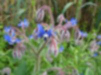 http---jeantosti.com-Fleurs-bourrache2.j