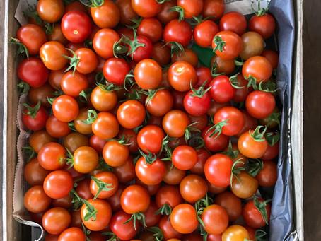 Premières tomates cerises