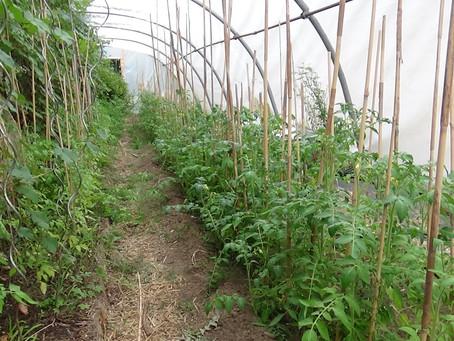 Serre à Tomates avec les premières fleurs