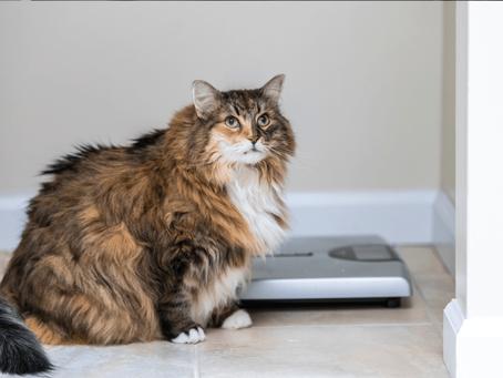 Feline Obesity