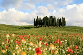 Tuscan cypress grove