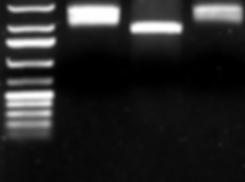 cloning analytical gel blck_edited_edited_edited.png