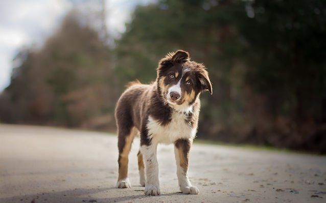 australian-shepherd-little-aussie-brown-