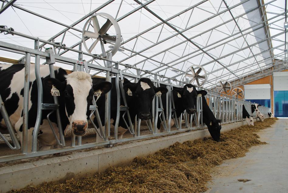 Cows enjoying the new barn