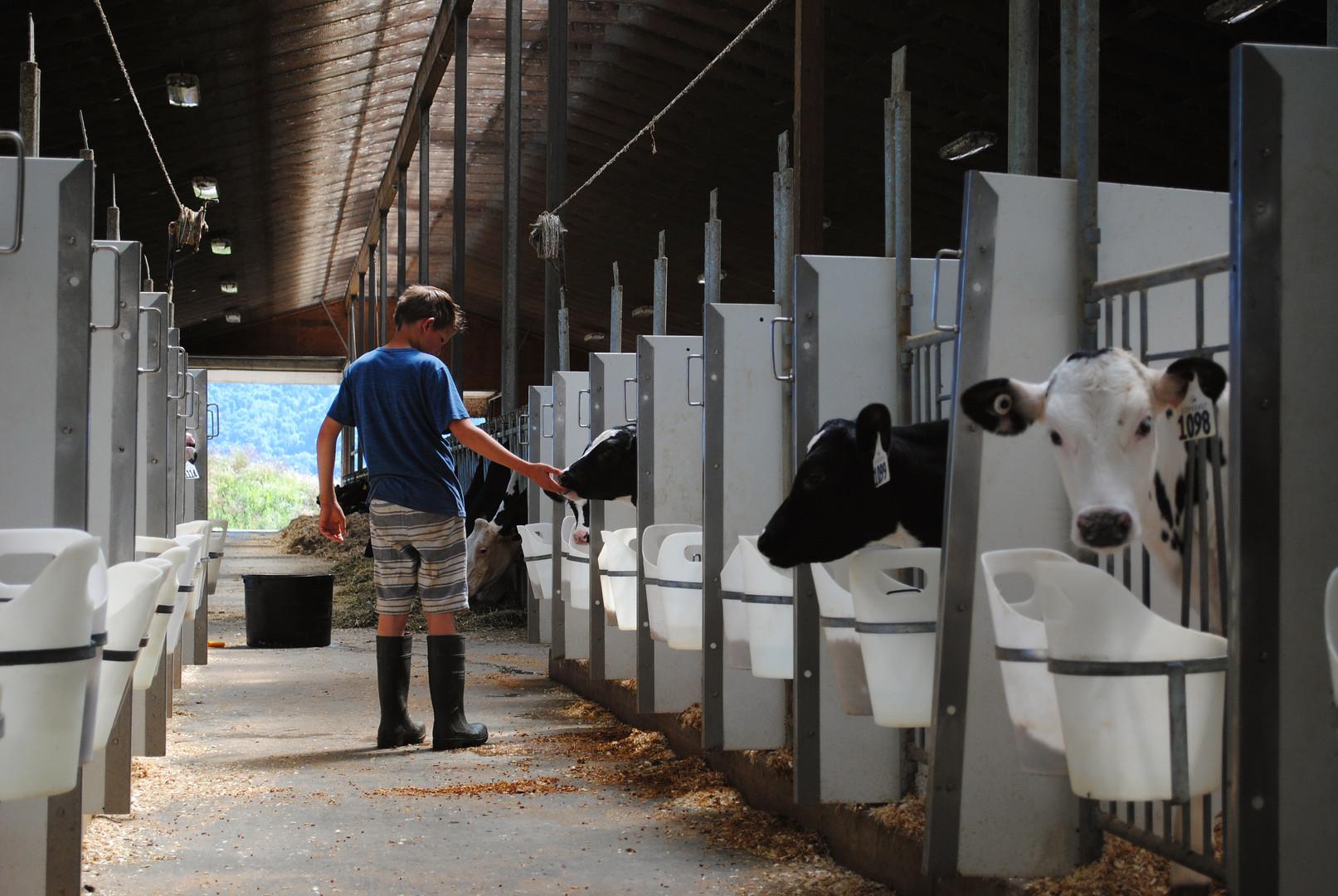 VV Feeding Calf.jpg