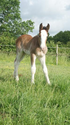 shire horse brazsweet