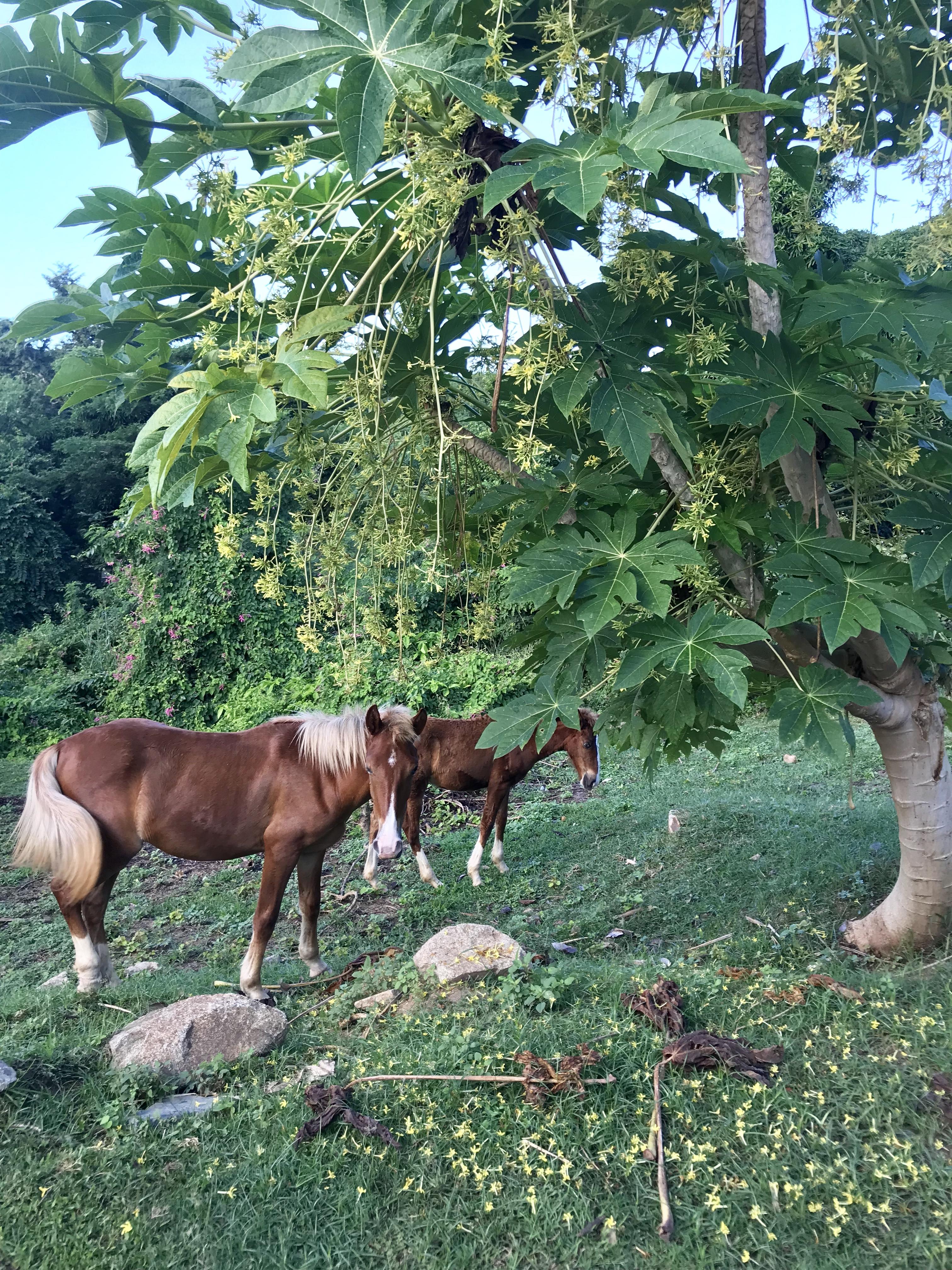 Wild horses in Vieques