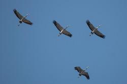 The Common Cranes