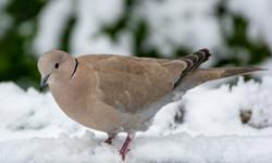 The Eurasian Collared Dove