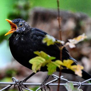 Wakeup call from the blackbird