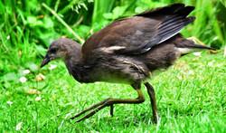 The Common Moorhen