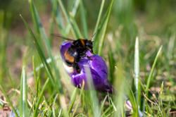 Natureshots (The Bumblebee)