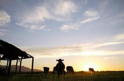 Cows at Kookaburra
