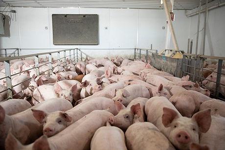sad pigs.jpg