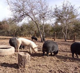 all pigs 2.jpg