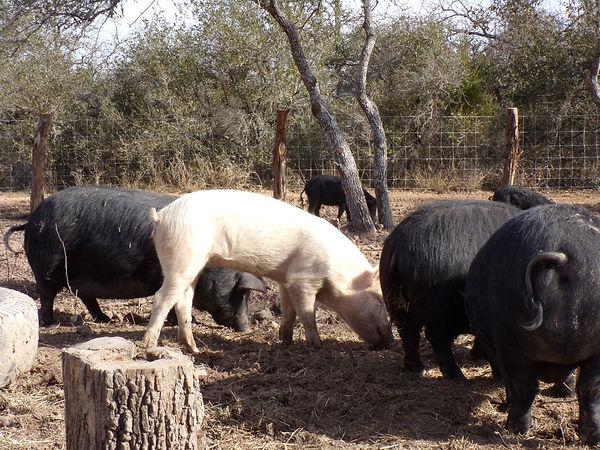 pigs eating.JPG