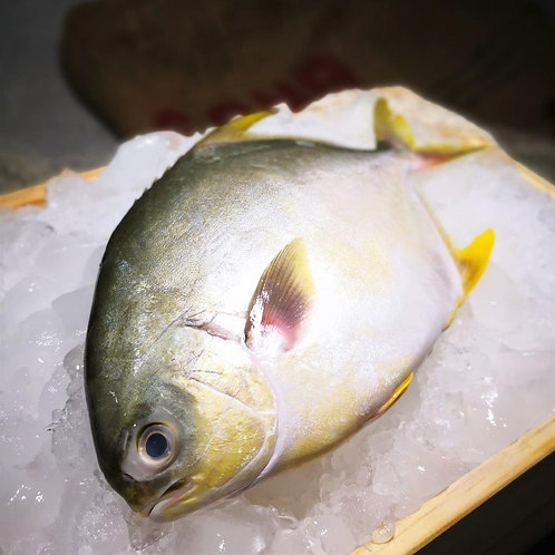 Wild Golden Pomfret