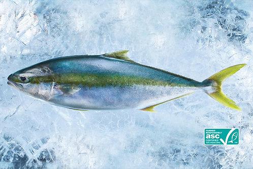 Whole Hiramasa Kingfish - Sashimi Grade