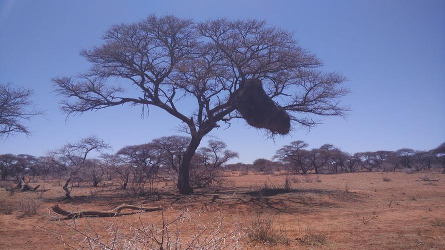 Kalahari tree.jpg
