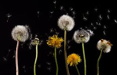 bloom-blossom-dandelion-36424.jpg