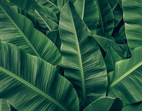 tropical banana palm leaves texture gree