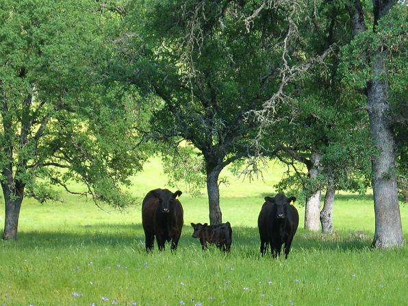 jane cows.jpg