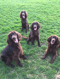 German Longhaired Pointers