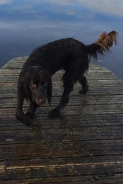 HPR water german longhaired pointer