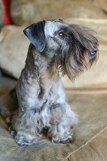 Cesky Terrier Junior Puppy 2016