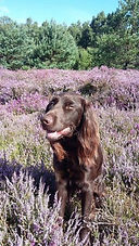 wherrypoint german longhaired pointer on heather