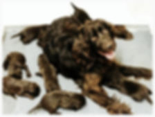 German longhaired pointer puppies