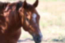 2015 Sorrel Stallion - 8.jpg