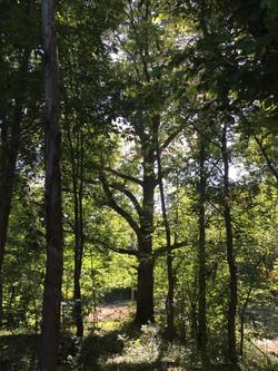 Oak Tree Front
