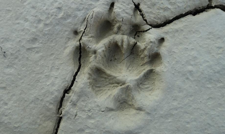 Doppelabdruck von einem Fuchs. Der Boden hat das Trittsiegel so gut erhalten, dass die Abdrücke der Haare zu sehen sind.
