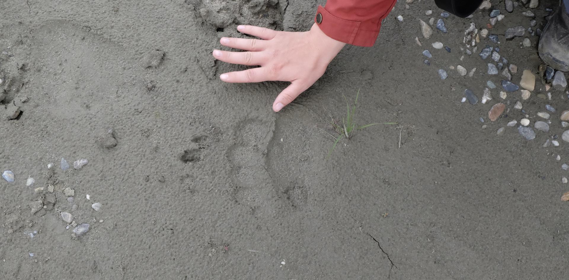 Die Vorderpfote eines Schwarzbären im Vergleich zur Hand einer jungen Frau.