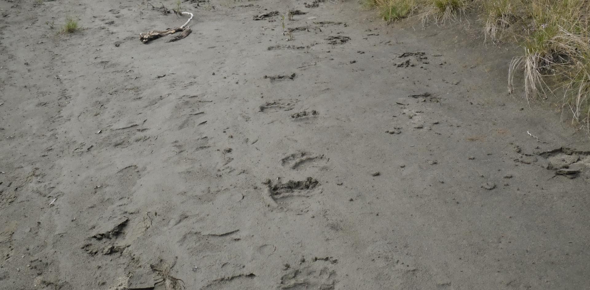 Die Abdrücke eines Schwarzbären in seiner typischen Gangart. Der Vorderfuß wird beim Gehen schräg abgedrückt.
